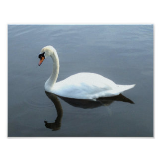 Beautiful Swan Reflection Poster