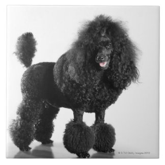 Beautiful, trimmed, black, complete poodle body ceramic tile