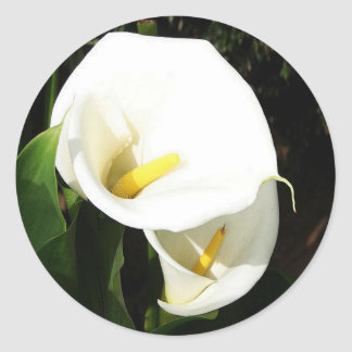 Beautiful White Calla Flowers In Bright Sunlight Classic Round Sticker