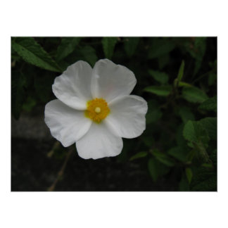 Beautiful White Flower Poster