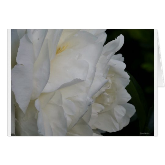 Beautiful white rose card