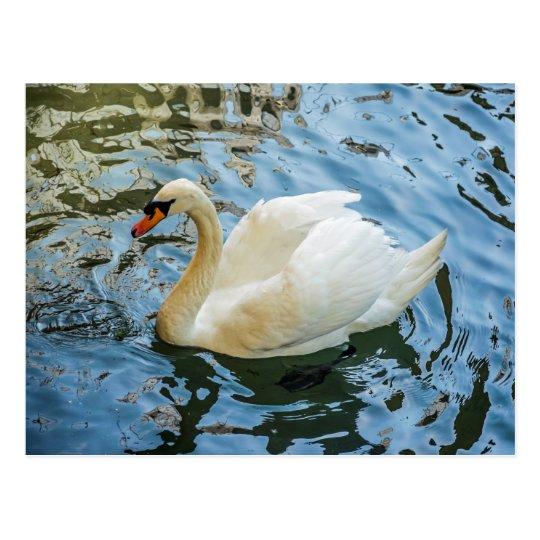 Beautiful white swan postcard