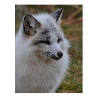 Beautiful White Swift Fox Postcard