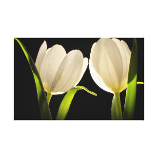 Beautiful White Tulips on black Background Canvas Print