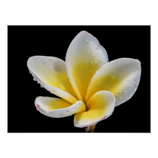 Beautiful white-yellow Plumeria flower Poster