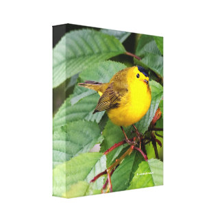 Beautiful Wilson's Warbler in the Cherry Tree Canvas Print