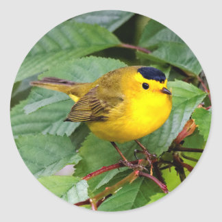 Beautiful Wilson's Warbler in the Cherry Tree Round Sticker