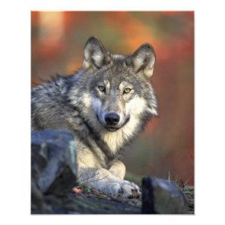 Beautiful Wolf Photo