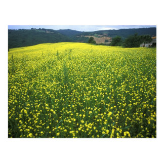 Beautiful yellow flower covered fields of San Postcard
