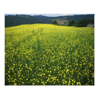 Beautiful yellow flower covered fields of San Poster