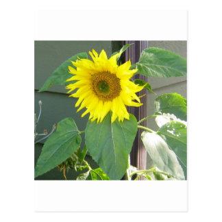 Beautiful Yellow Sunflower Postcard