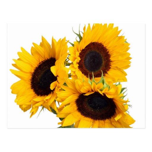 Beautiful Yellow Sunflowers Postcard