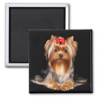 Beautiful Yorkshire Terrier Magnet