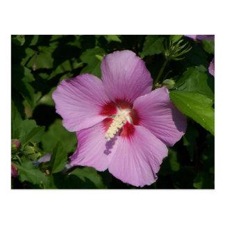 Beauty in Pink Postcard