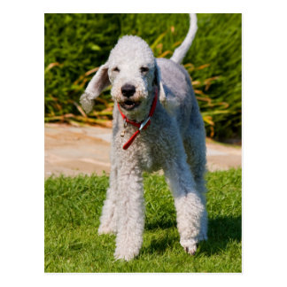Bedlington Terrier dog cute beautiful photo Postcard