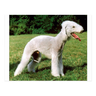 Bedlington Terrier Dog Postcard