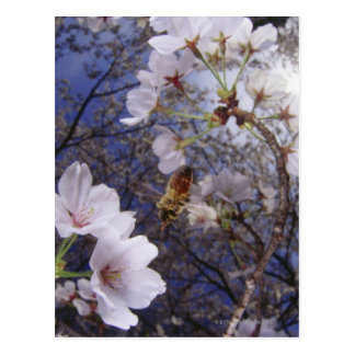 Bee approaching Cherry blossoms, view from below Postcard