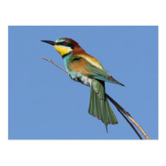 Bee-eater Postcard