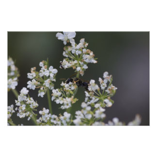 Bee in White Flowers Poster