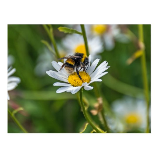 Bee on a white daisy postcard
