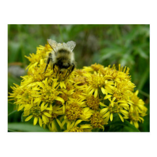 Bee on Goldenrod, Unalaska Island Postcard