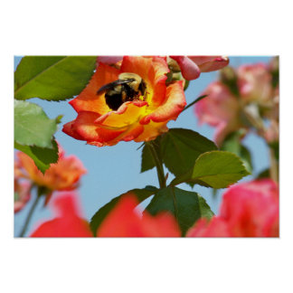 Bee on pink, orange, and yellow rose with blue sky poster