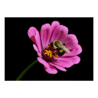 Bee on Pink Zinnia Poster