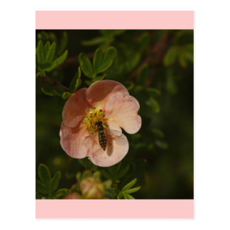 Bee on Potentilla Postcard