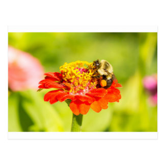 bee on red flower with pollen sacs postcard