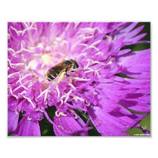 Bee on Stokes Aster Photographic Print