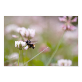 Bee Pollinating Clover Photo