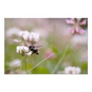 Bee Pollinating Clover Art Photo