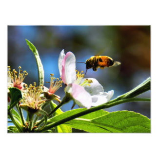 Bee & White Flower Photography Art Photo