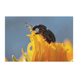 Beetle Feeding On A Yellow Daisy Flower Stretched Canvas Prints