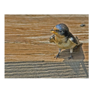 Begging Barn Swallow Postcard