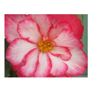 Begonia Red White Flower Bloom Postcard