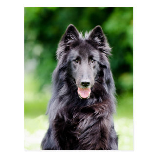 Belgian Groenendael dog, Belgian Shepherd photo Postcard