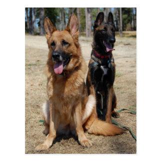 Belgian Malinois and German Shepherd Postcard