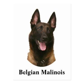 belgian malinois postcard