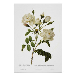 Bell rose by Pierre-Joseph Redoute Poster