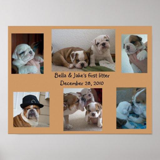Bella English Bulldog First Litter Poster