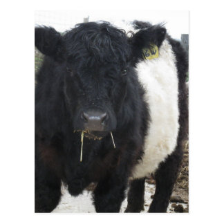 Belted Galloway Cow Eating Hay Postcard