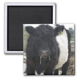 Belted Galloway Cow Eating Hay Square Magnet