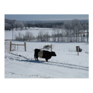 Belted Galloway Cow in a Snowy Landscape Postcard