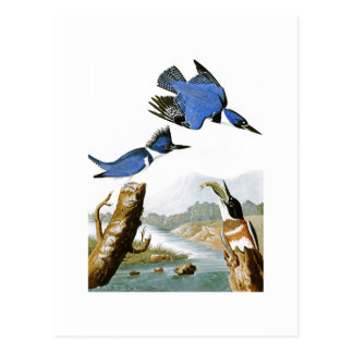 Belted Kingfisher John Audubon Birds of America Postcard