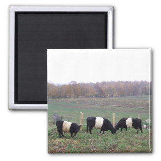 Beltie Cow Herd in Fall Magnet