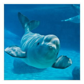 Beluga Whale Poster