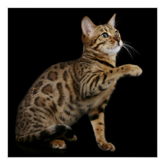 Bengal cat playing on black background poster