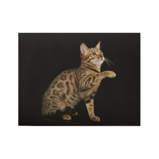 Bengal cat playing on black background wood poster
