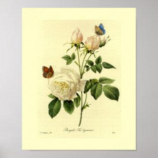 Bengal Rose Botanical Floral Poster